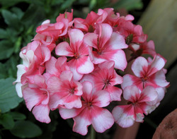 Pelargonium sp 7