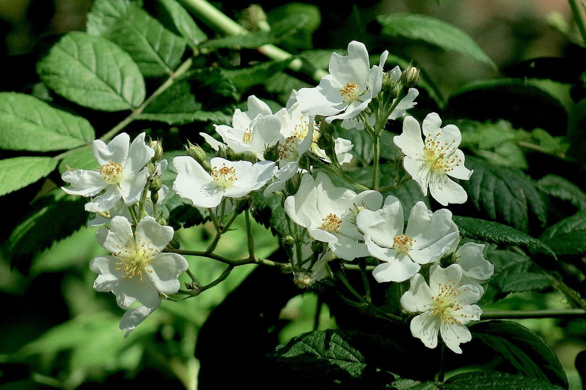Rosa multiflora 5