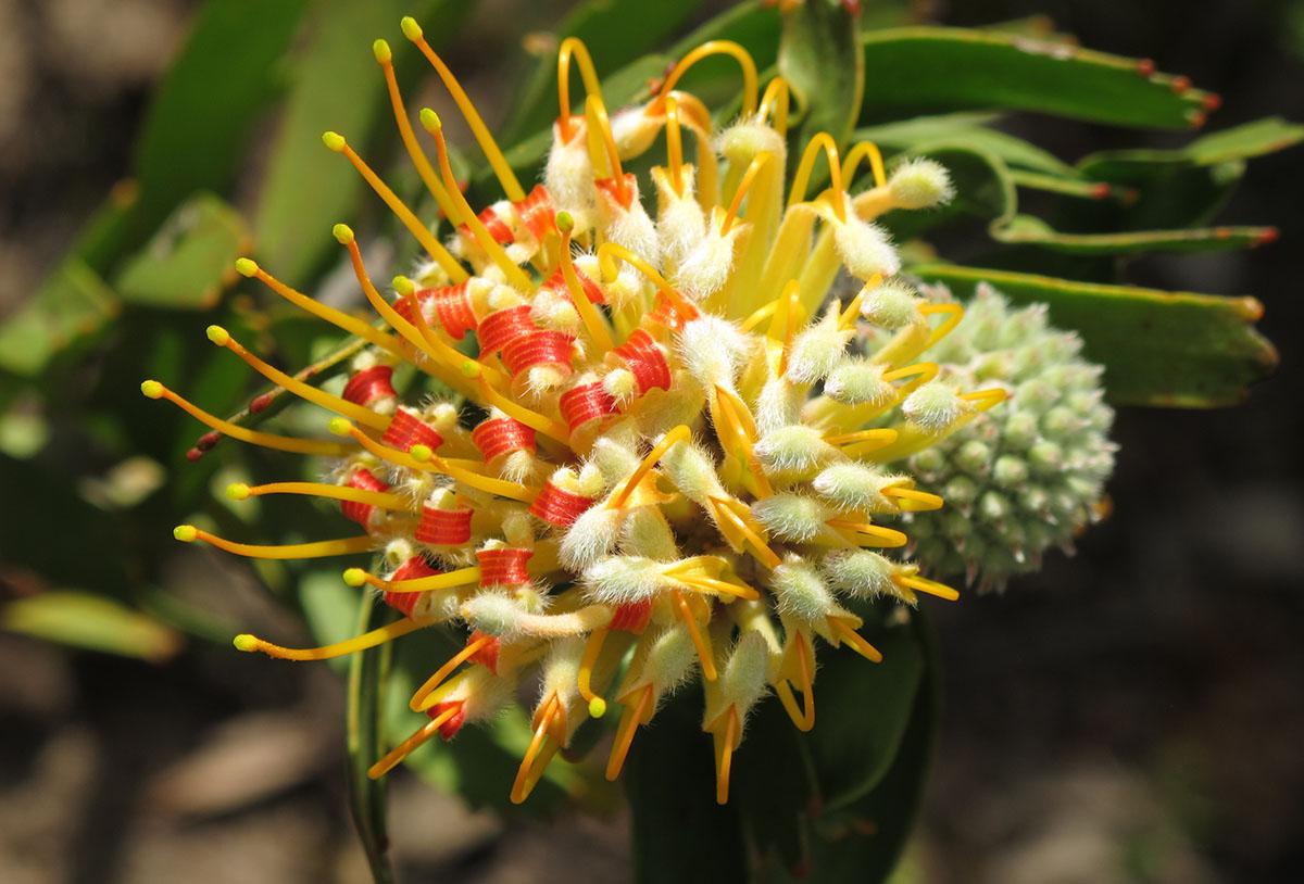 Leucospermum erubescens 46