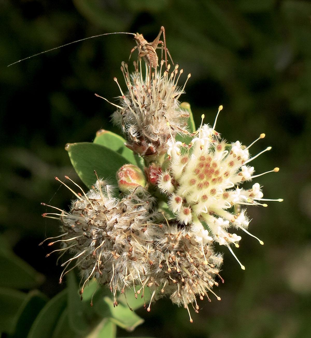 Leucospermum bolusii 30