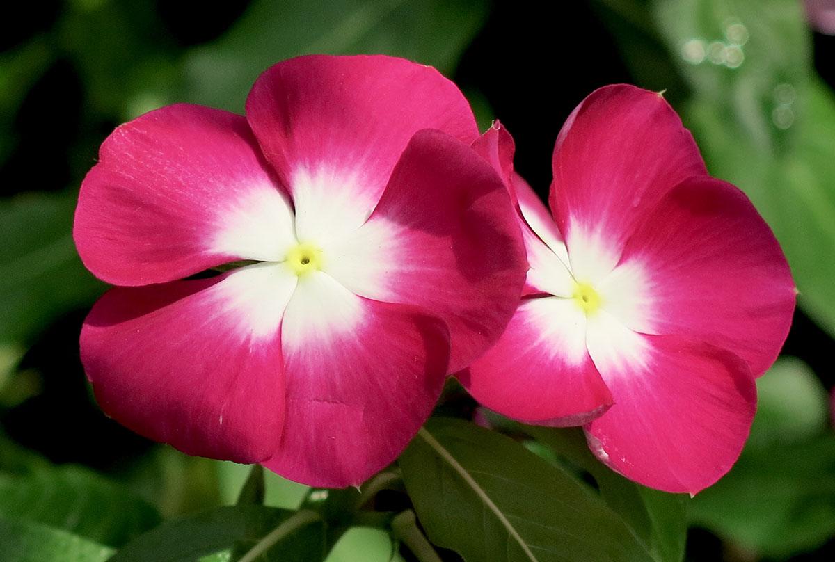 Cataranthus roseus 46