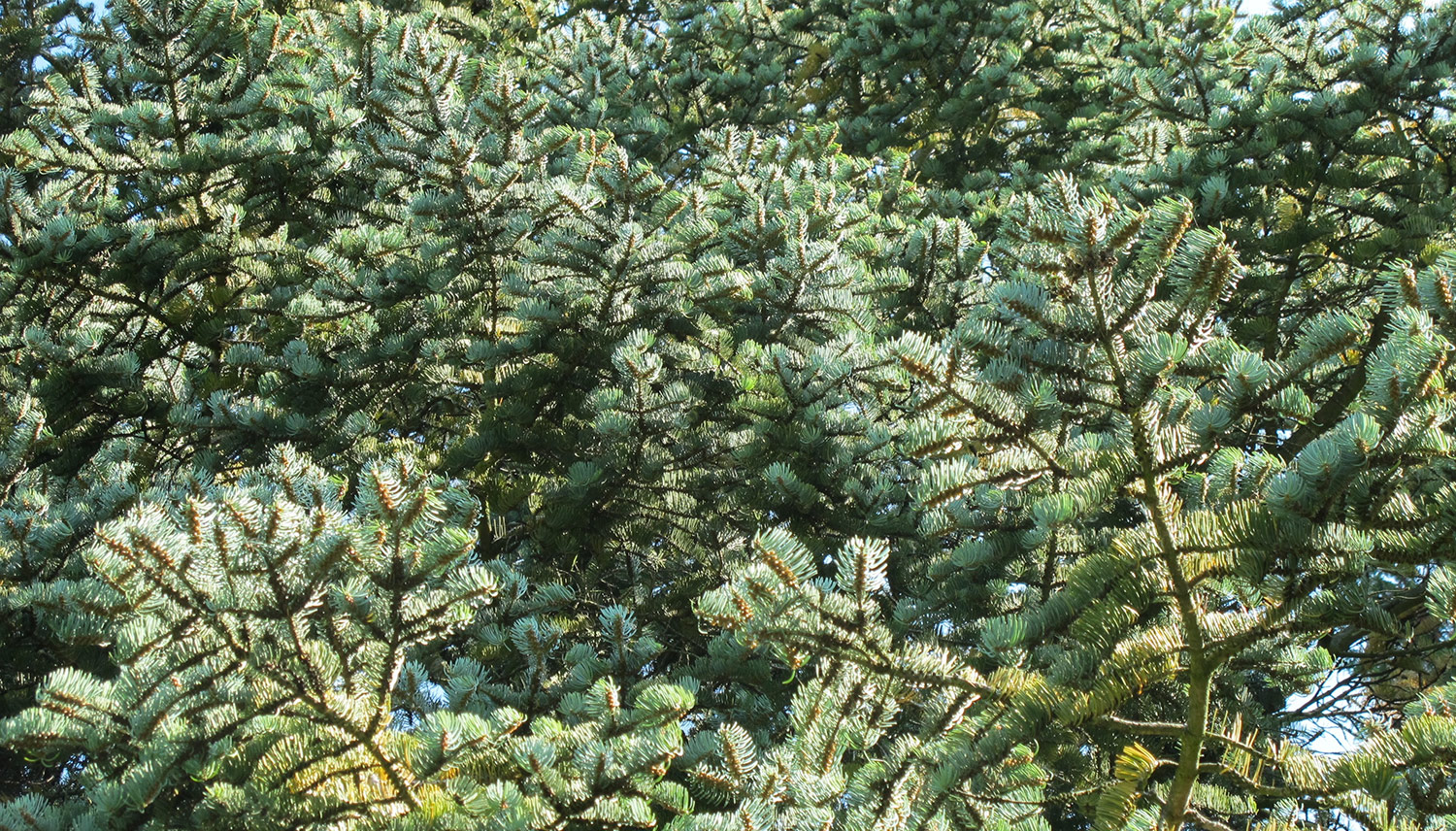 Abies-concolor-8-