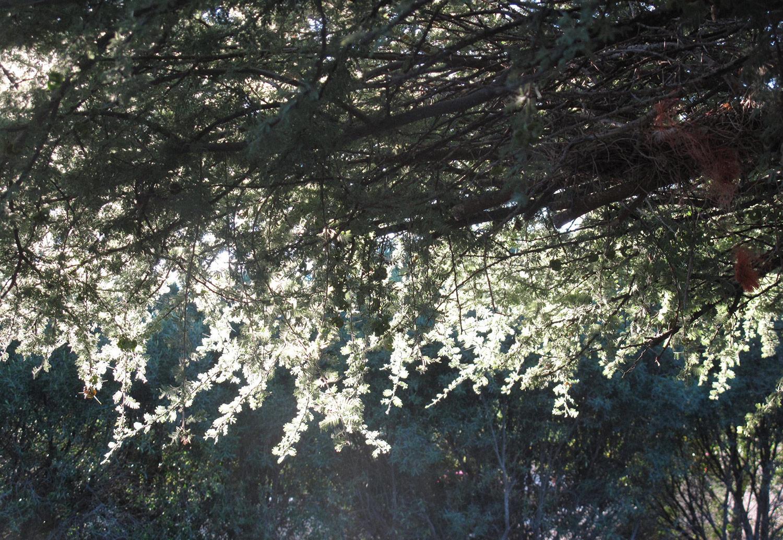 Acacia-tortillis-heteracantha-70-
