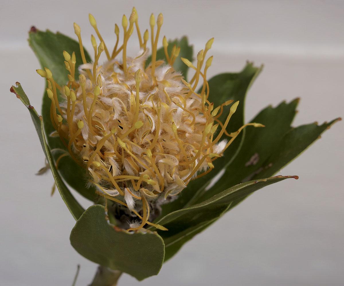 Leucospermum conocarpodendron 7