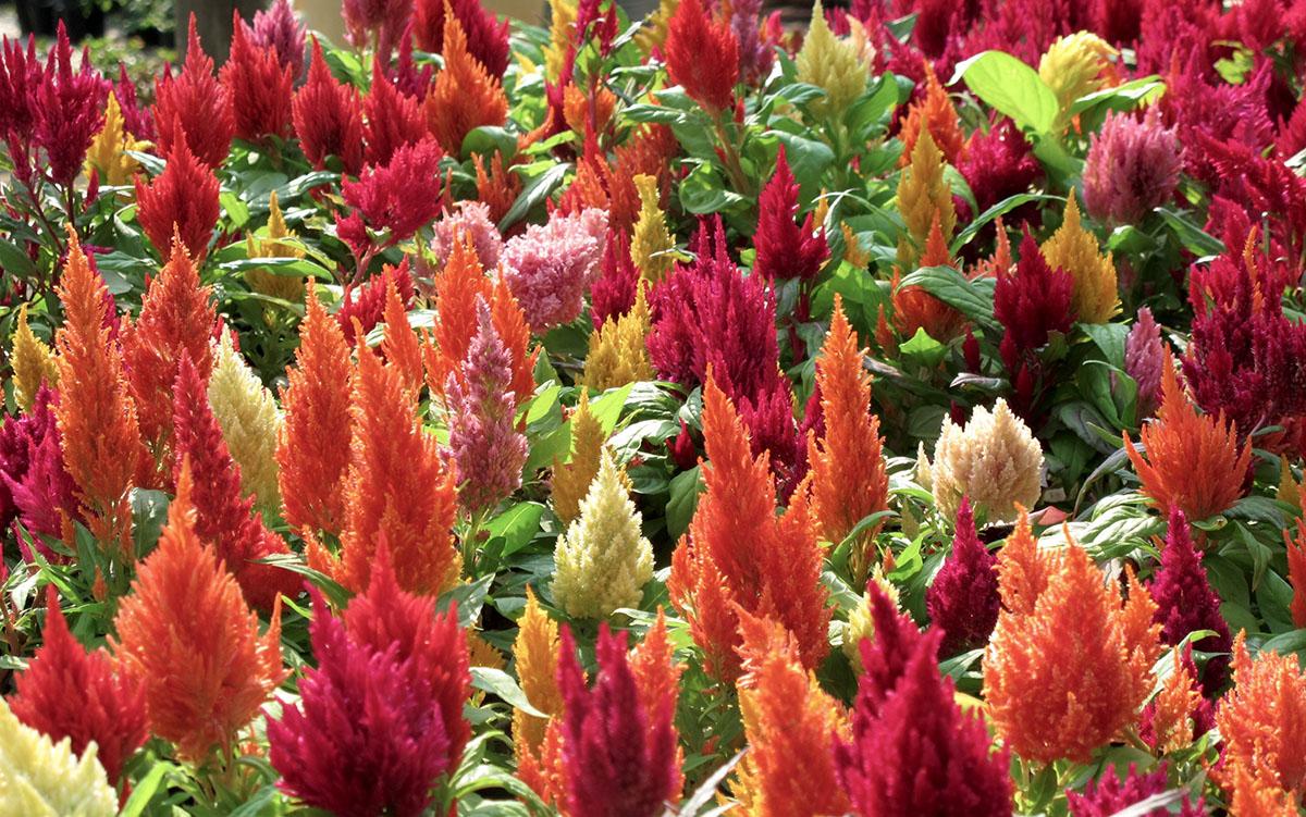 Celosia argentea var. plumosa 9