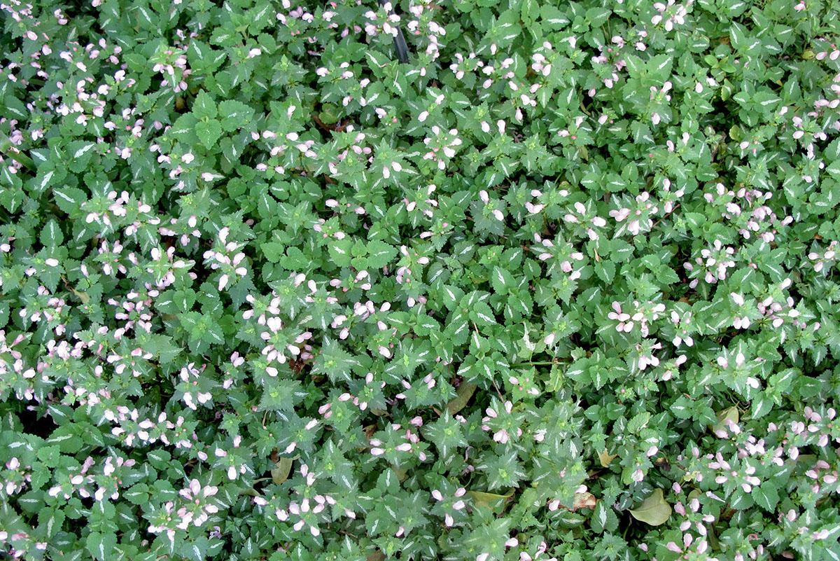 Lamiastrum galeobdolon argentatum 22