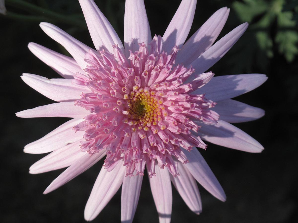 Argyranthemum-X-'Rosalind'-9-