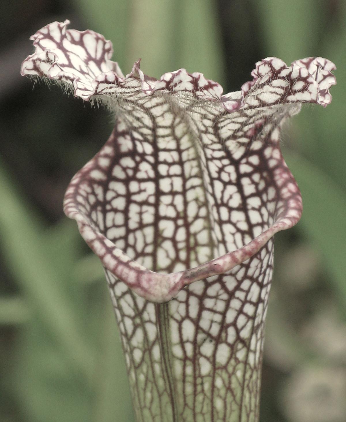 Sarracenia alata leucophylla 3
