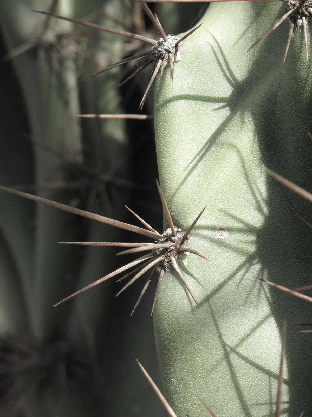 Cereus hildmannianmus 'Monstrous' 17