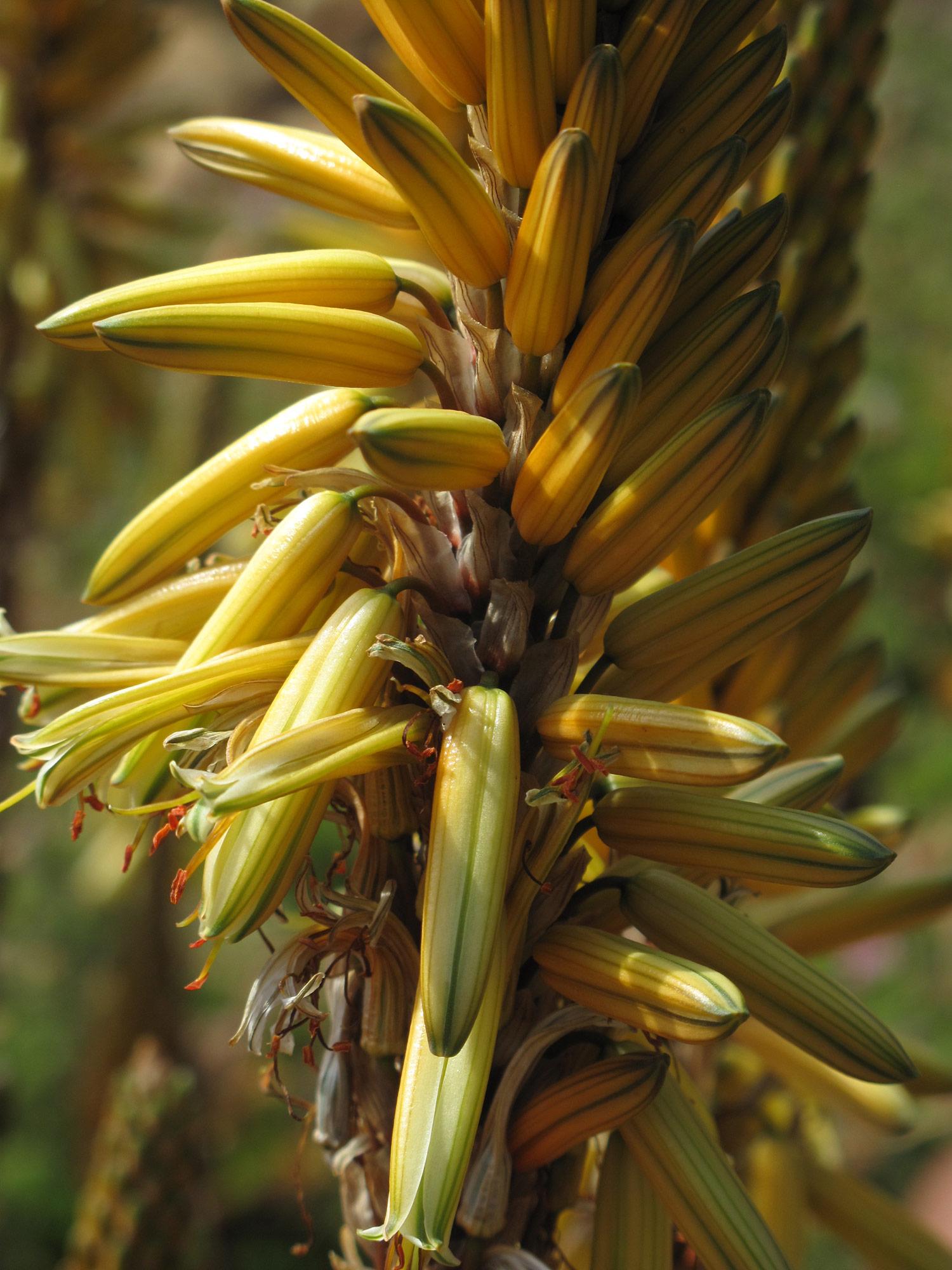 Aloe-vanbalenii-58-
