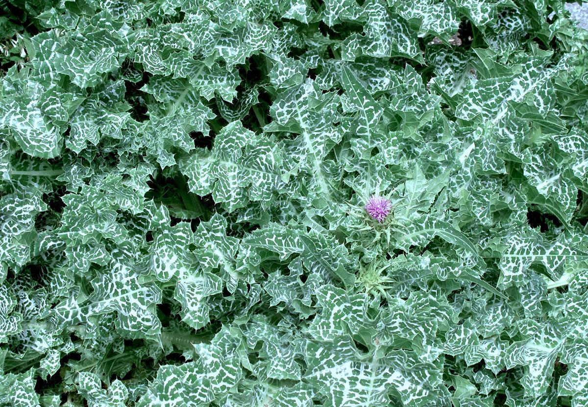 Silybum marianum 10