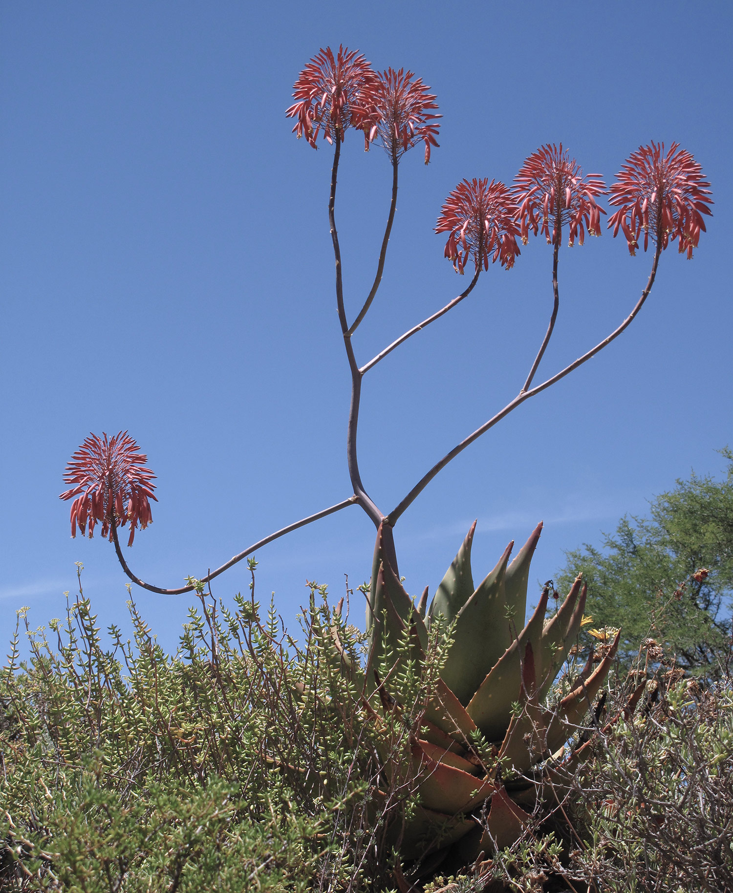 Aloe-comptonii-28-