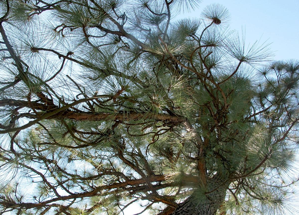 Pinus palustris 8