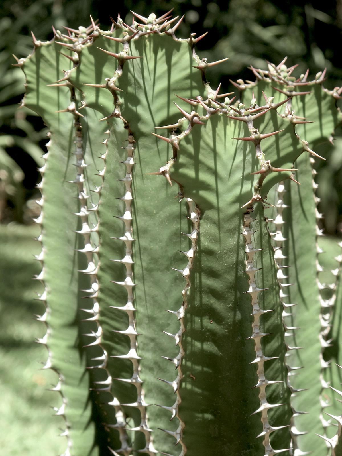 Euphorbia cooperii glauca 1