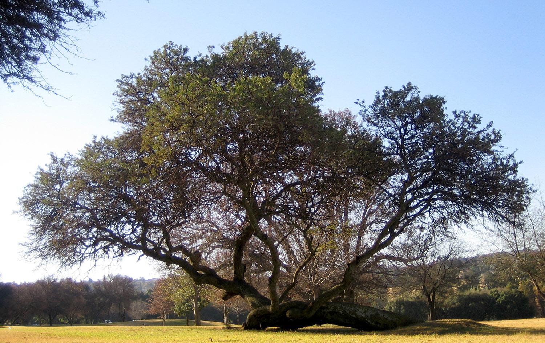 Acacia-karoo-2-
