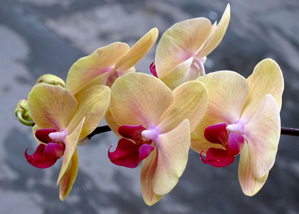 Doritaenopsis Sin-Yaun Golden Beauty 3