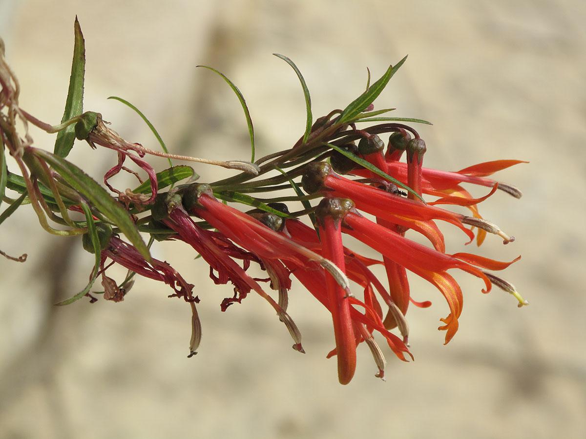 Lobelia laxiflora 'Angustifolia' 1