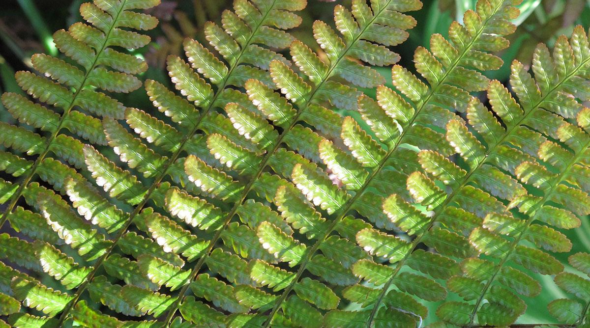 Dryopteris erythrosora 19