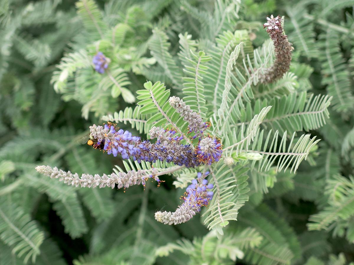 Amorpha-canescens-3-