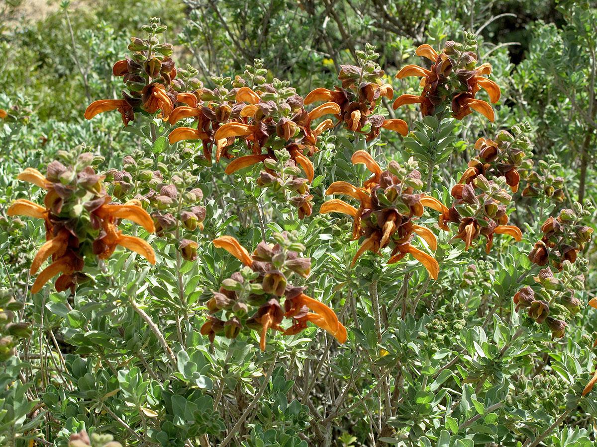 Salvia africana-lutea 38