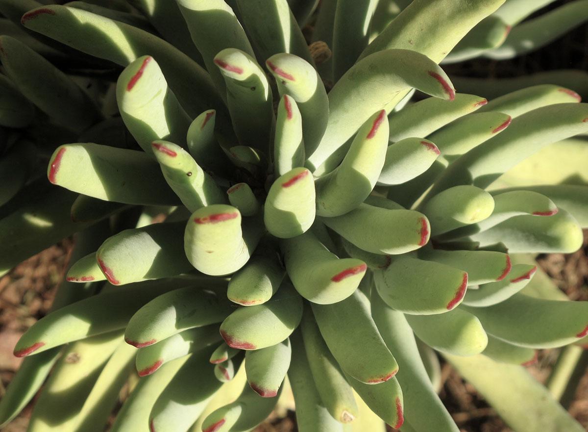 Cotyledon orbiculata dactylopsis 11