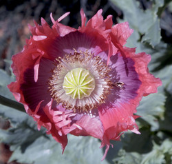 Papaver somniferum 1