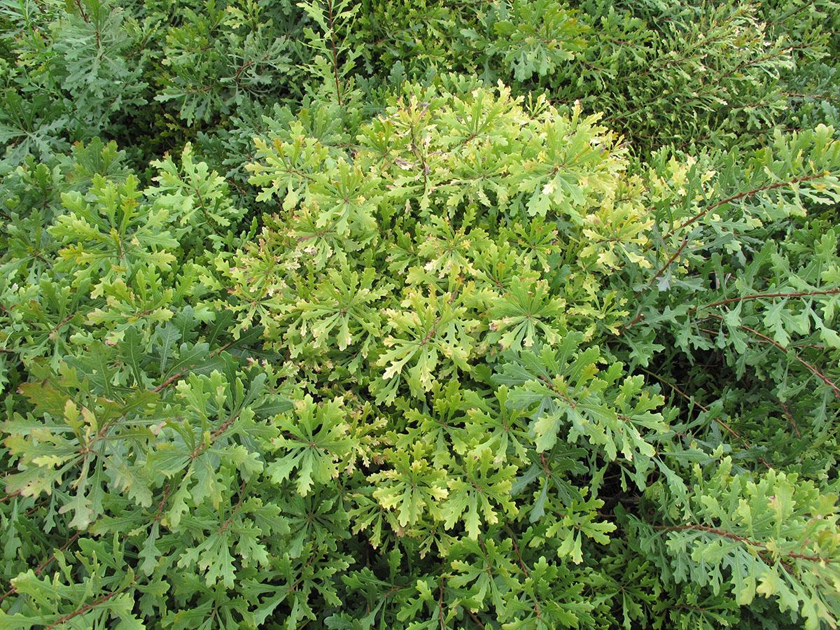 Myrica quercifolia 7