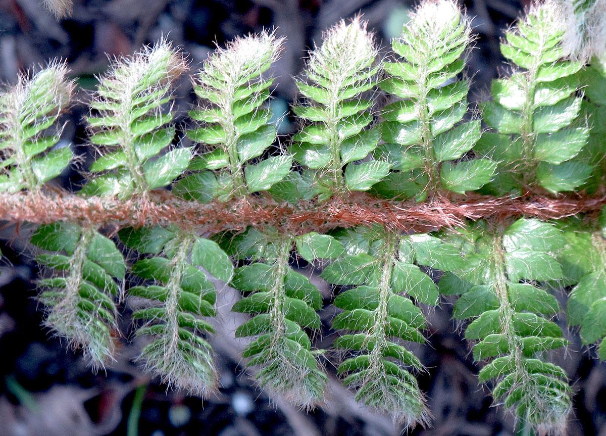 Polystichum polyblepharum 5