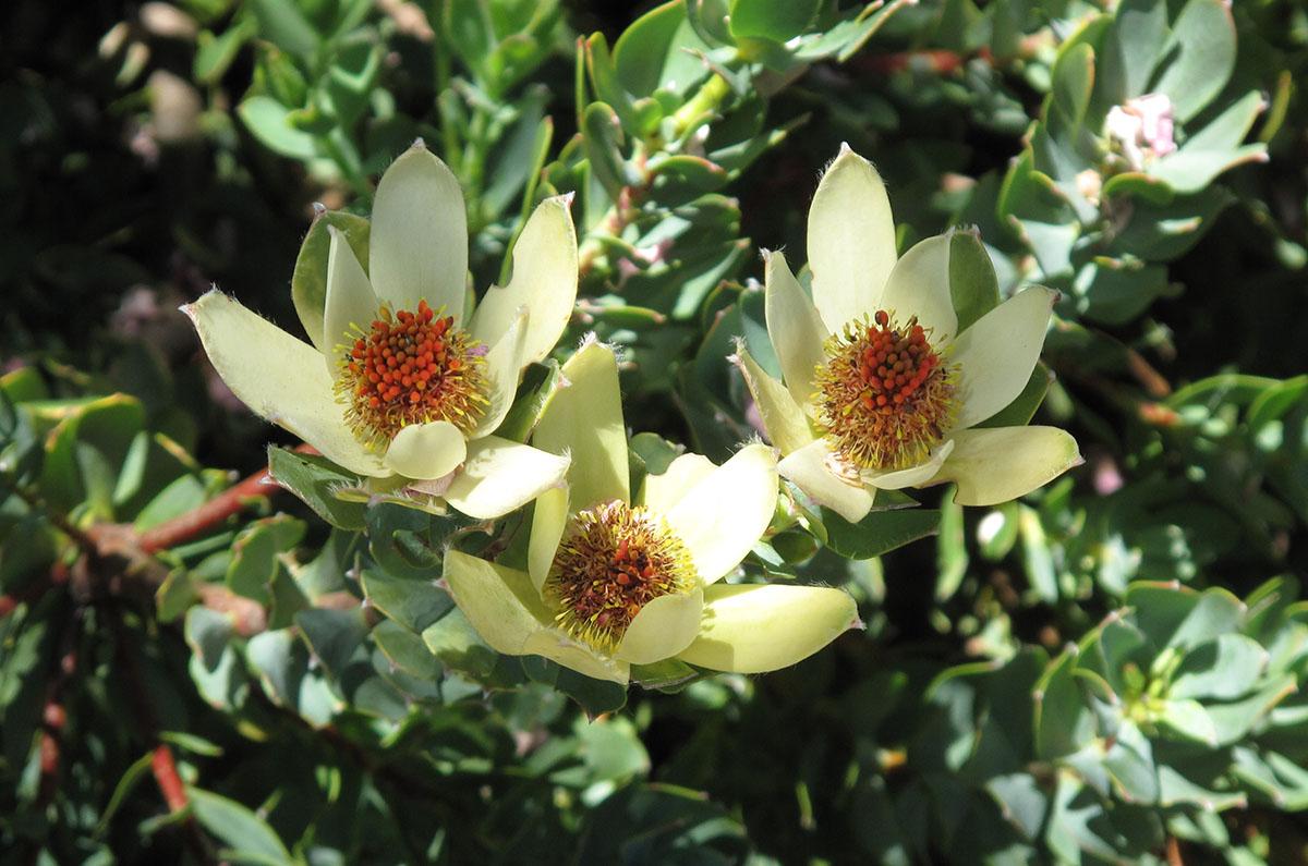 Leucadendron discolor 10