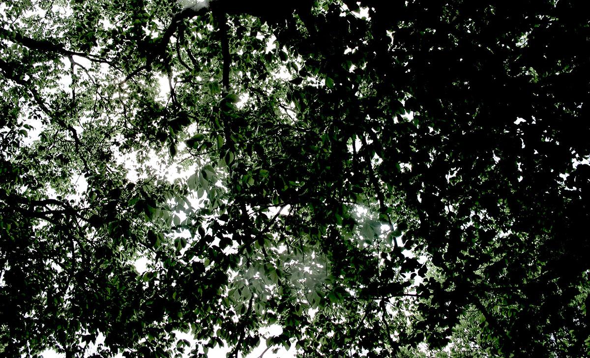 Fagus grandifolia 18