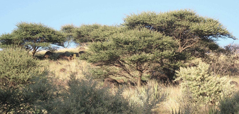 Acacia-tortillis-heteracantha-67-