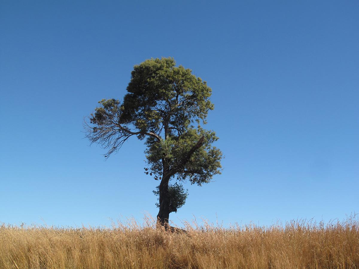 Acacia-mearnsii-31-