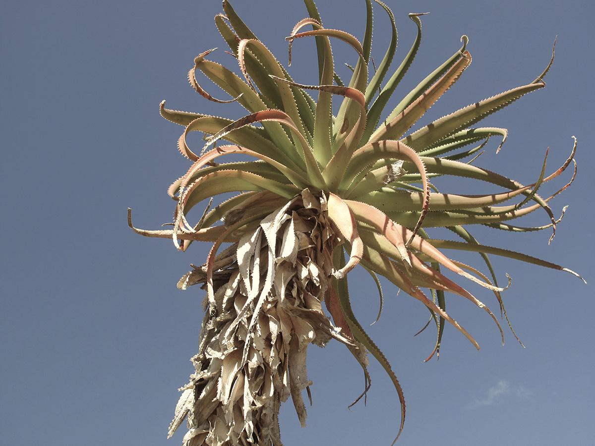 Aloe-pluridens-14-