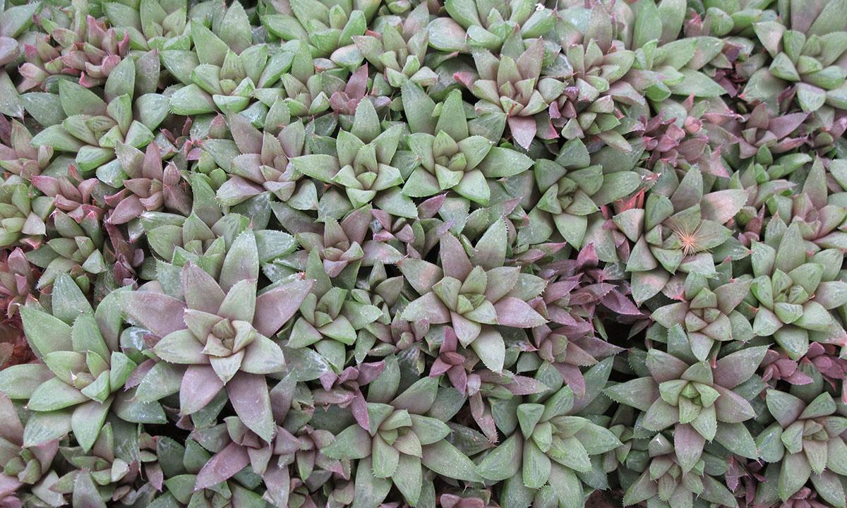 Haworthia turgida suberecta 2 1