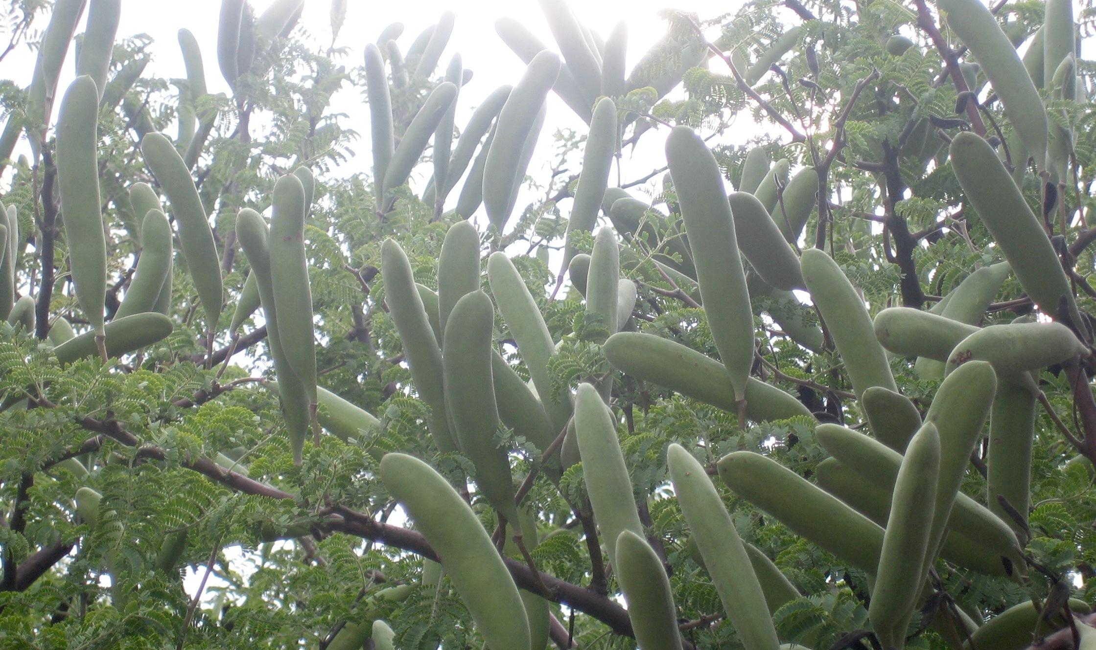 Acacia hebeclada 13