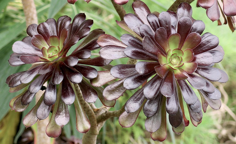 Aeonium-arboreum-13-Artopurpureum-