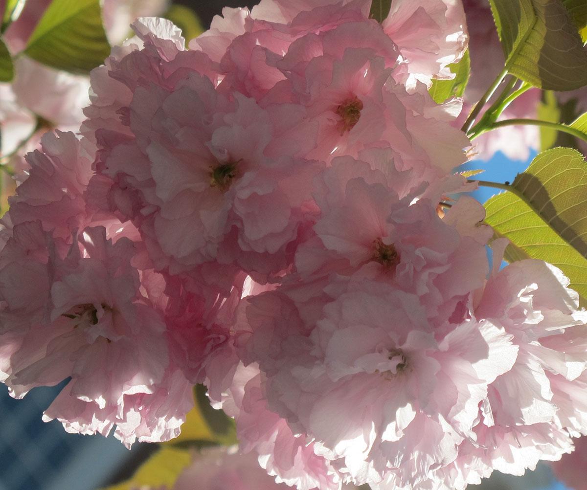 Prunus triloba 30