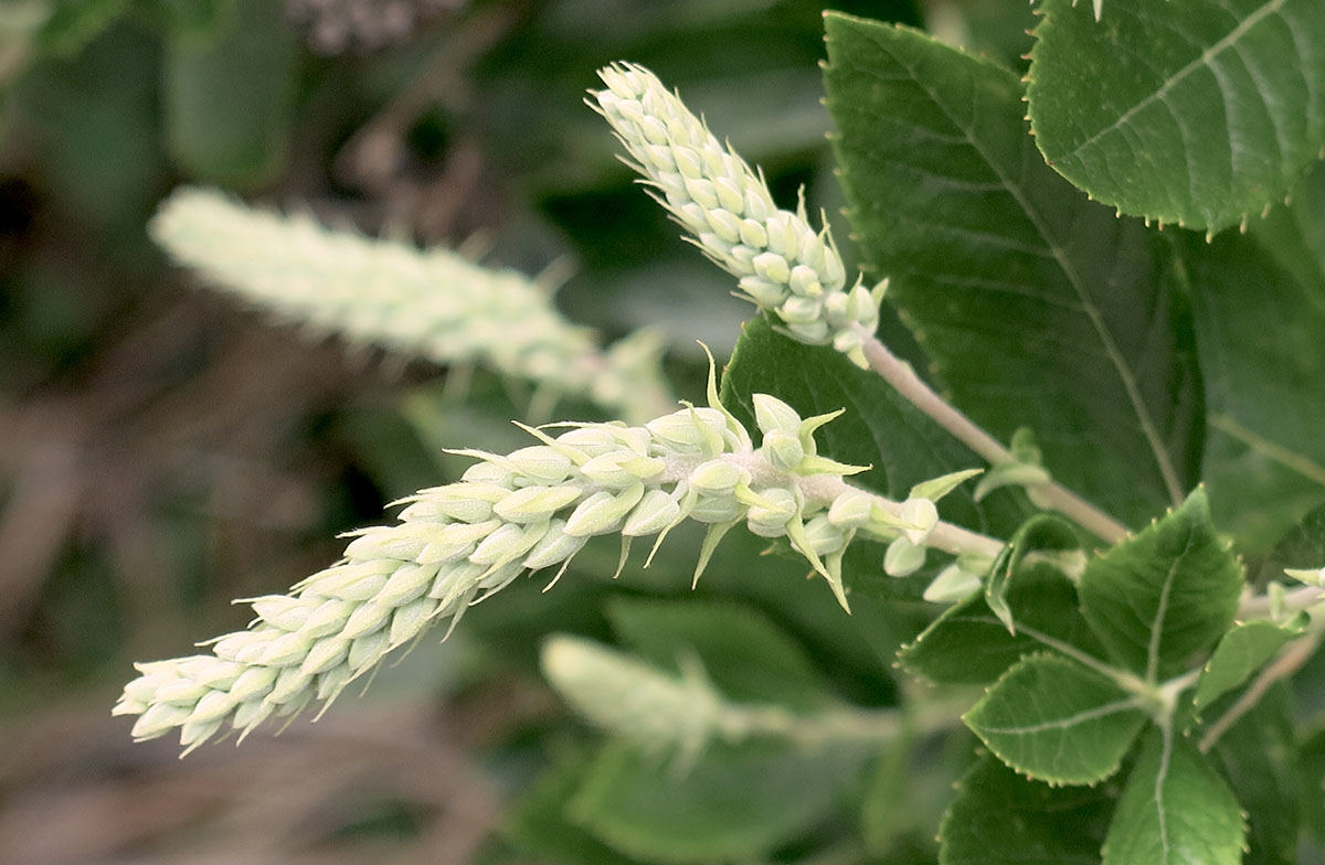 Clethra alnifolia Sweet Suzanne 4