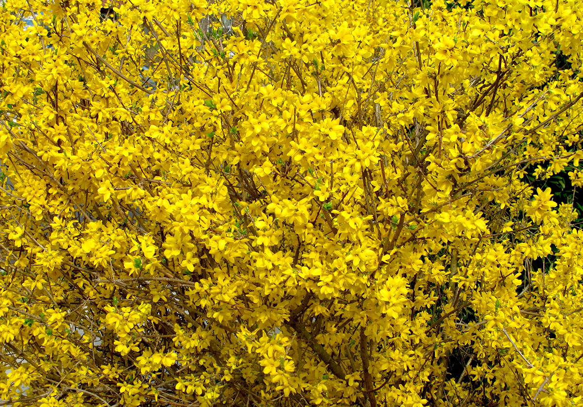 Forsythia intermedia 13
