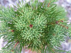 Leucadendron nobile 10