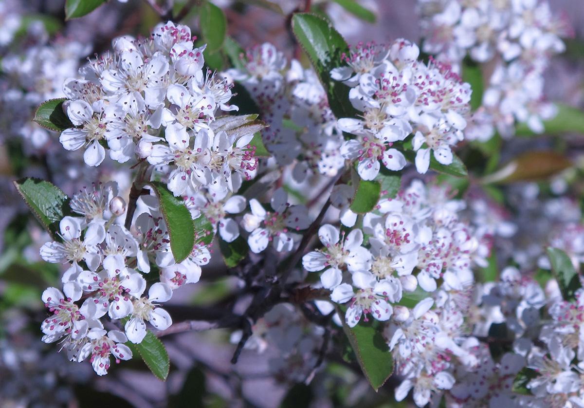 Aronia-arbutifolia-Brilliantissima-5-
