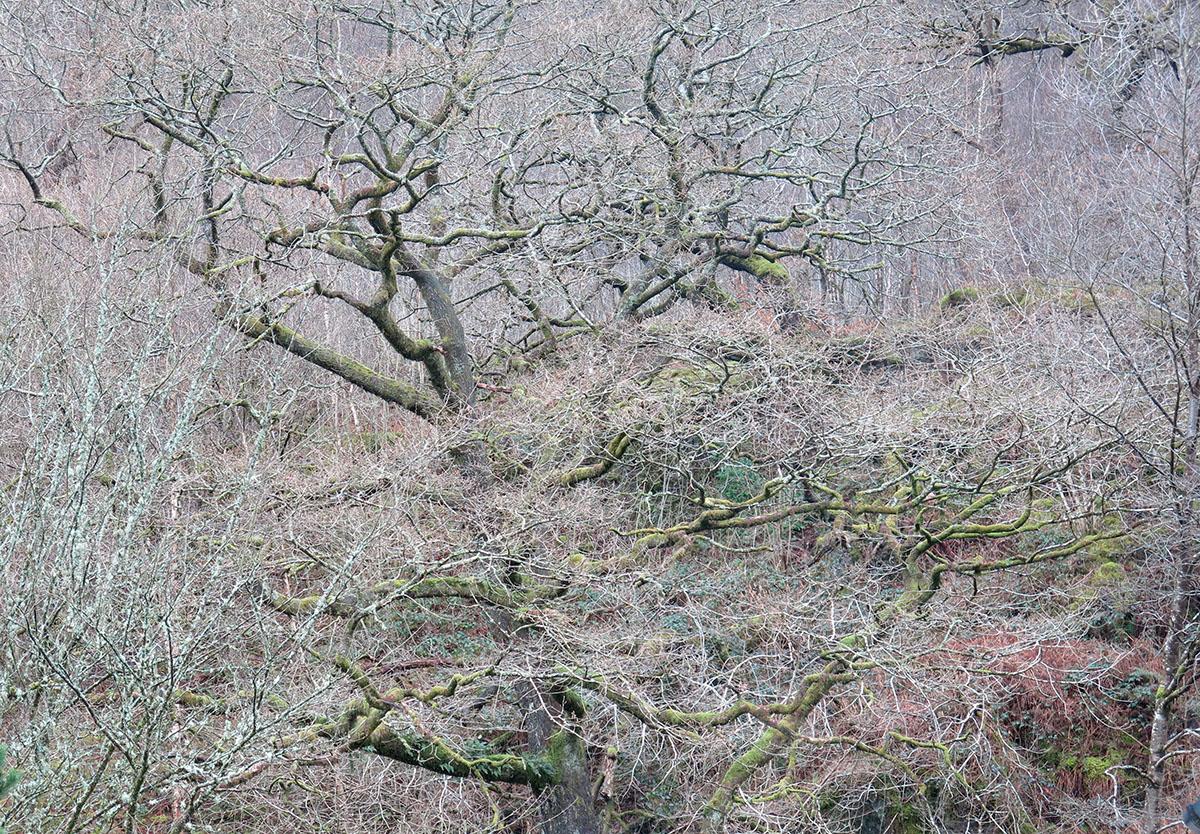 Quercus robur 108
