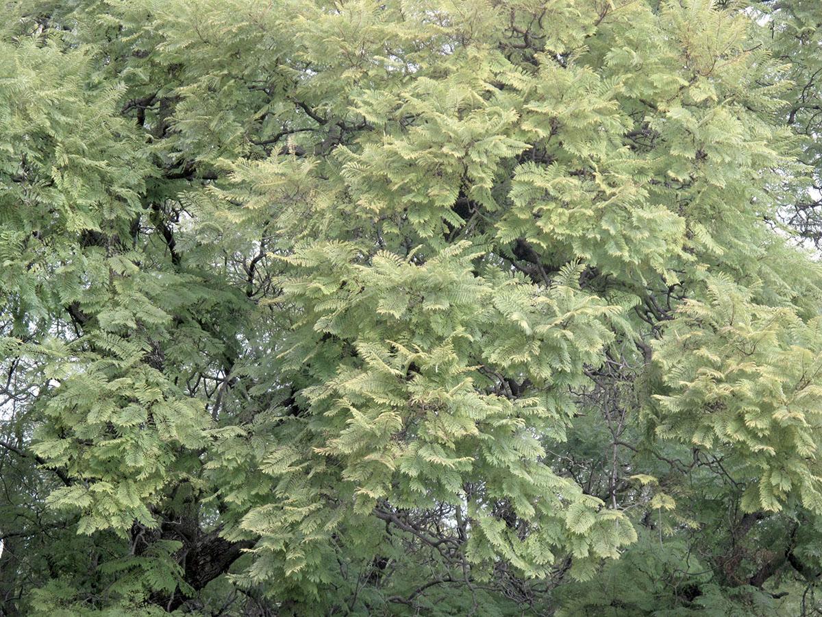 Jacaranda mimosifolia 126