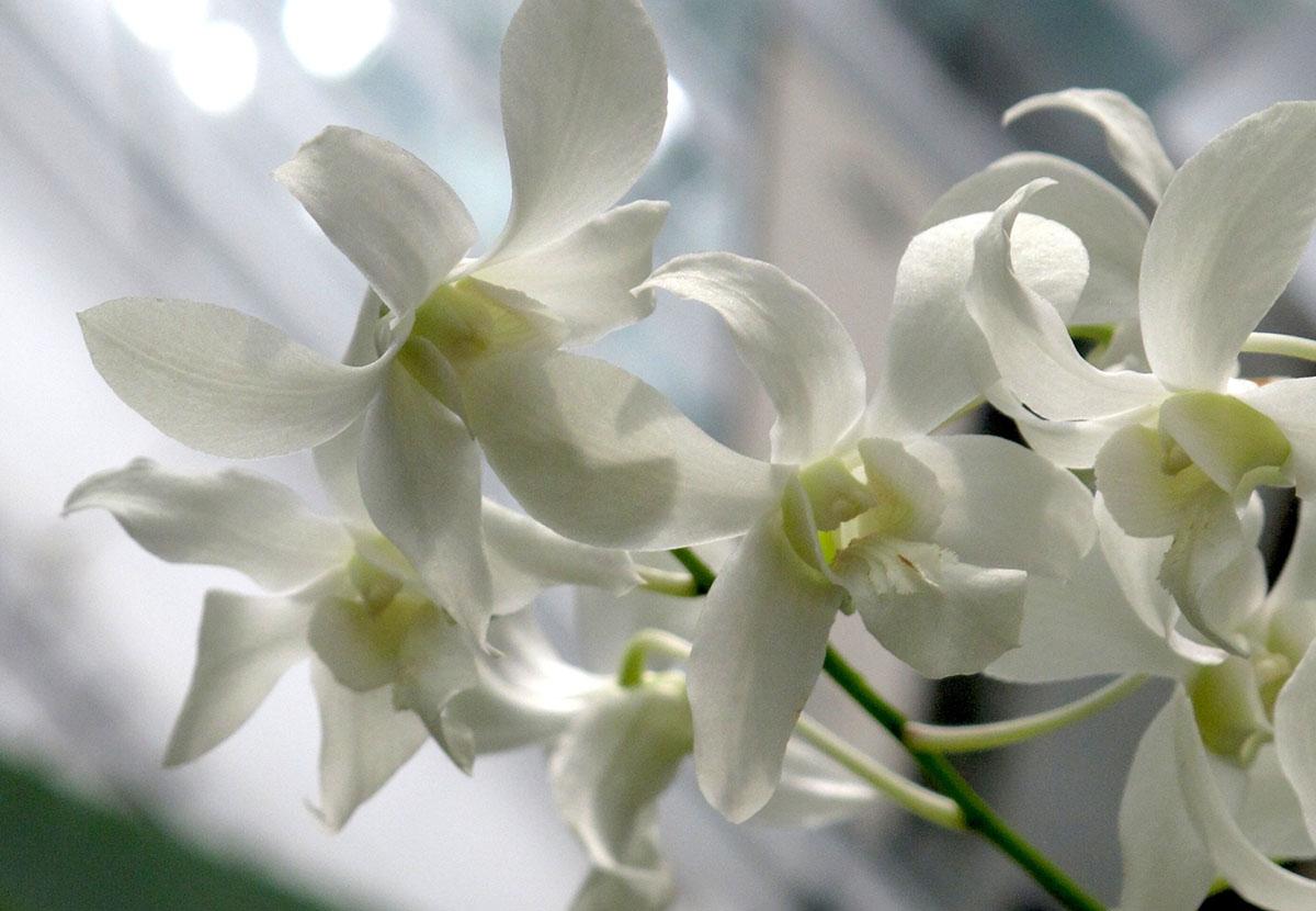 Dendrobium bigibbum phalaenopsis alba 2