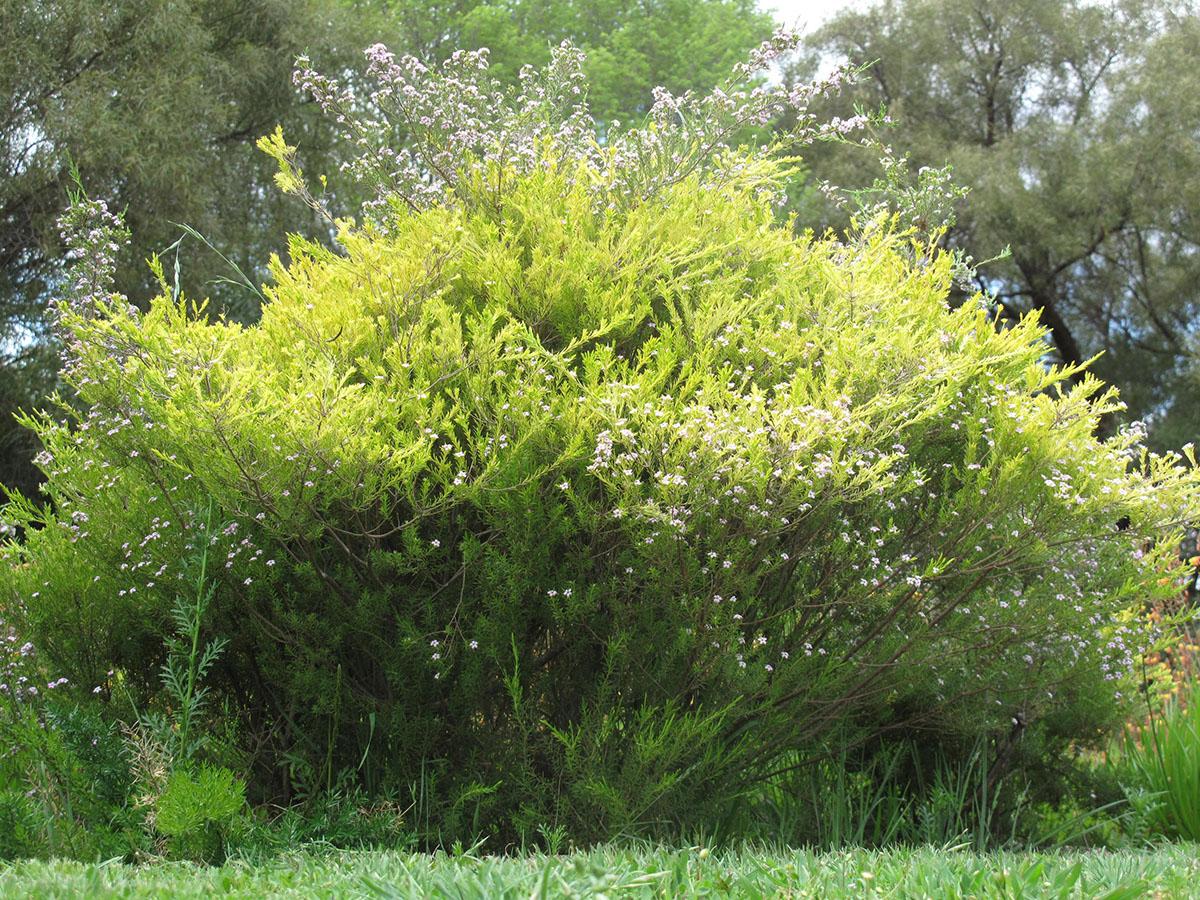 Coleonema pulchrum 11