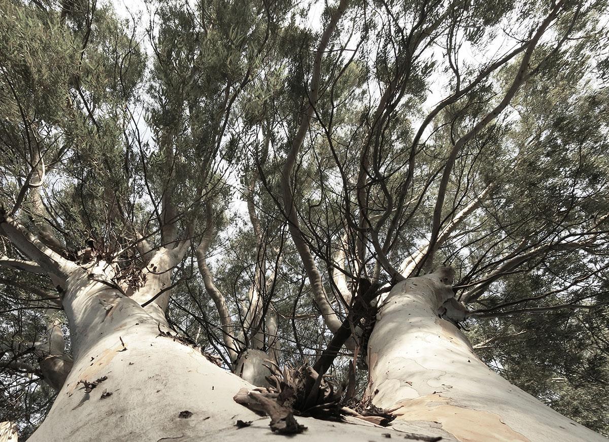 Eucalyptus camaldulensis 82