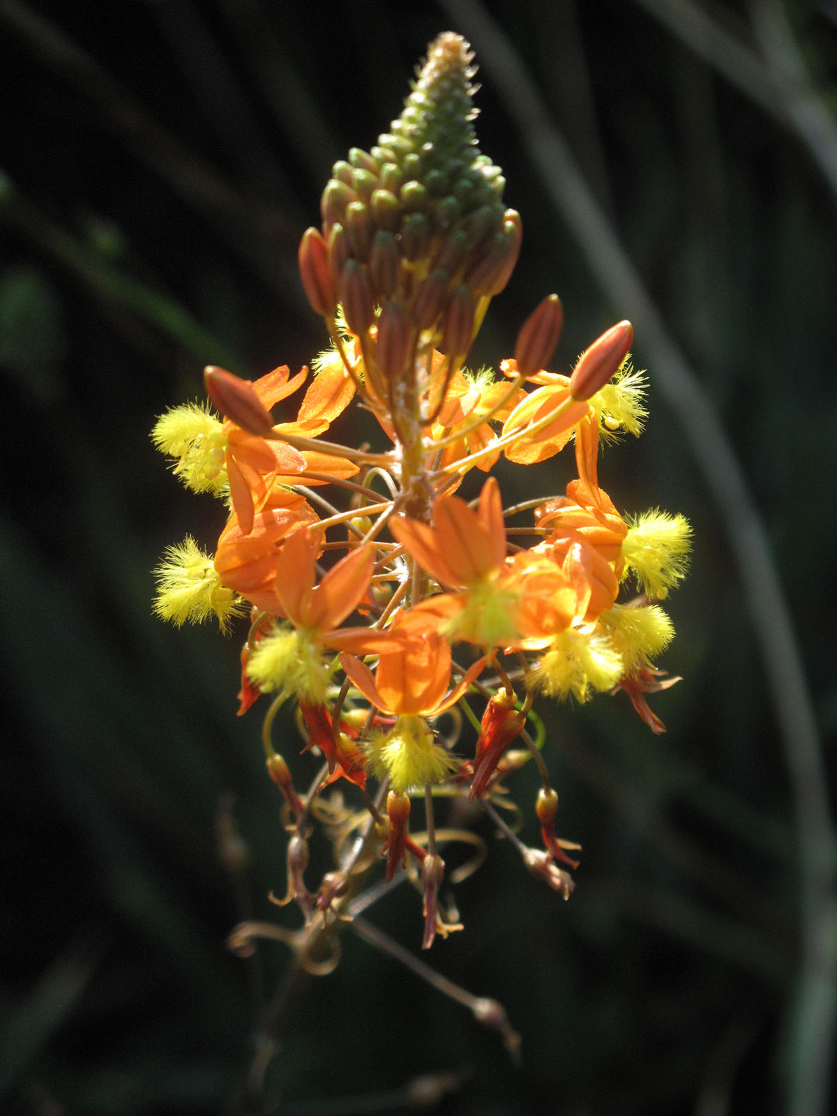 Bulbine frutescens 13