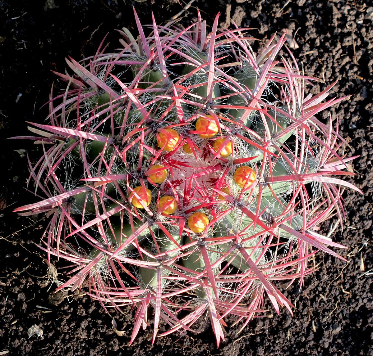 Ferocactus stainesii pilosus 8