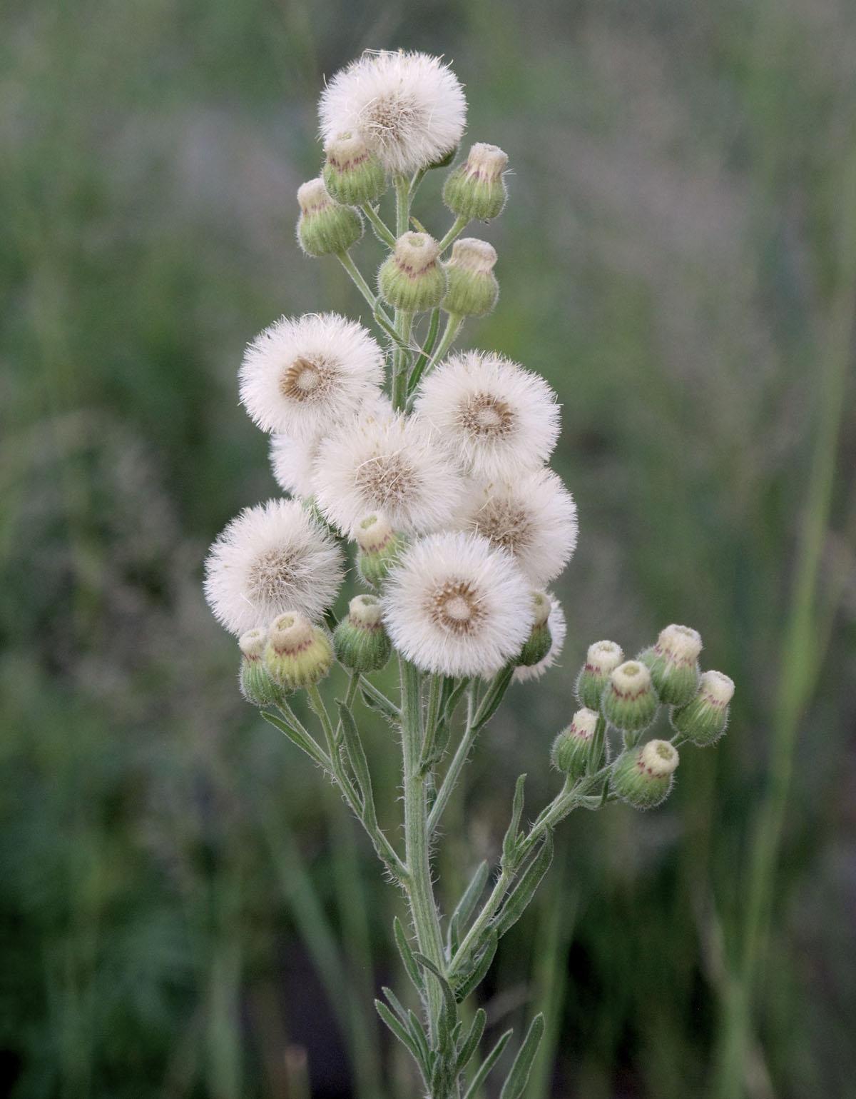 Coryza bonariensis 1