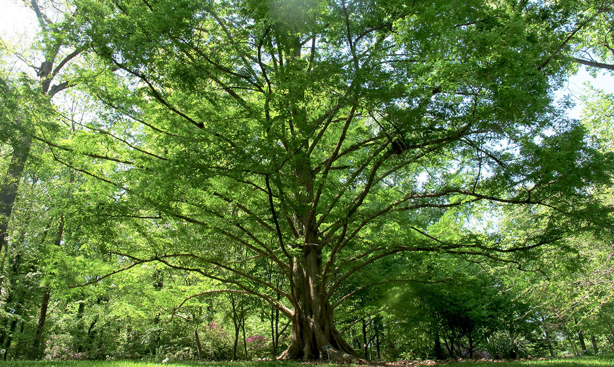 Metasequoia glyptostroboides National 25